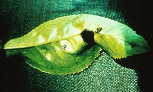 Image of <i>Exobasidium vexans</i> Massee 1898
