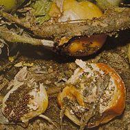 Image of <i>Athelia rolfsii</i> (Curzi) C. C. Tu & Kimbr. 1978