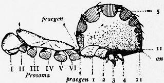Image of Liphistius