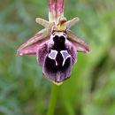 Image of <i>Ophrys reinholdii</i> Spruner ex Fleischm.