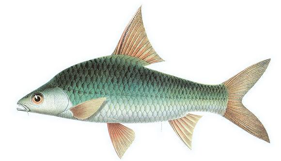 Image of <i>Cyclocheilichthys enoplos</i> (Bleeker 1849)
