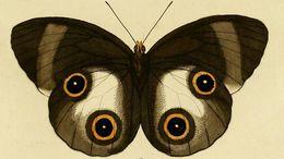 Image of <i>Taenaris urania</i> Linnaeus 1758