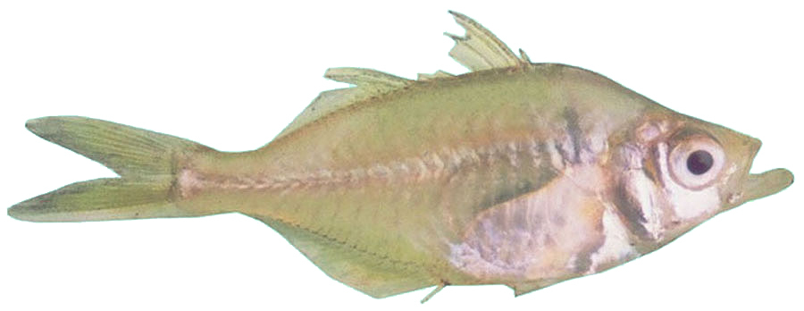 Image of Indian Glassy Fish