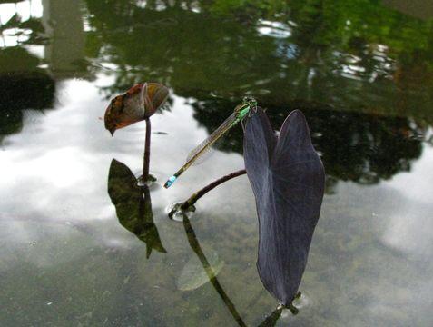 Image of Wild Taro