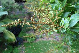 Image of lonomea