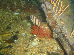 Image of Barred fingerfin