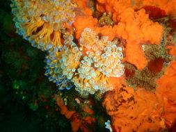 Image of Double blue tunicates