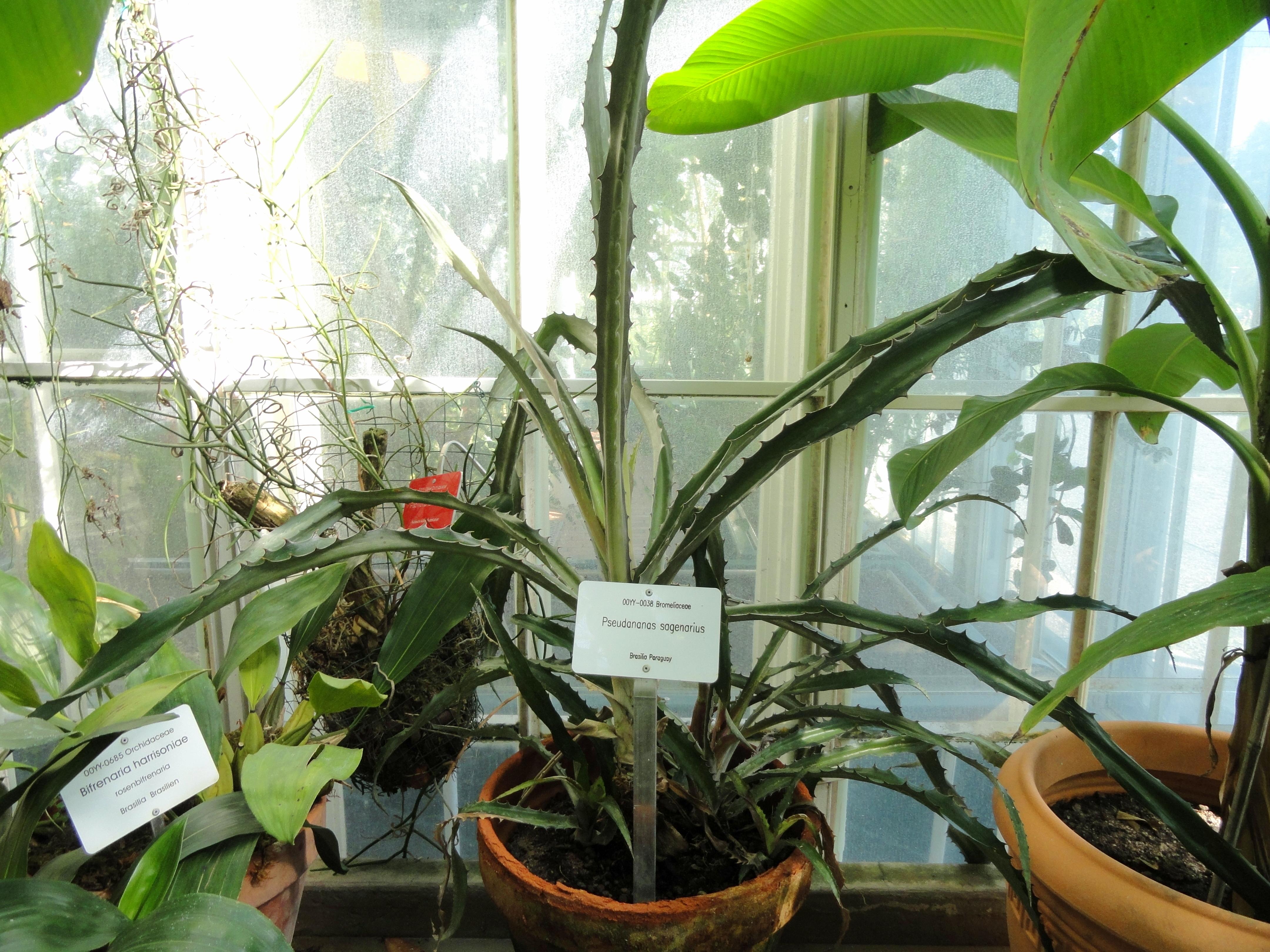 Image of <i>Ananas bracteatus</i> (Lindl.) Schult. & Schult. f.