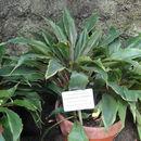 Image of <i>Chlorophytum filipendulum</i> Baker