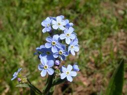 Image of manyflower stickseed