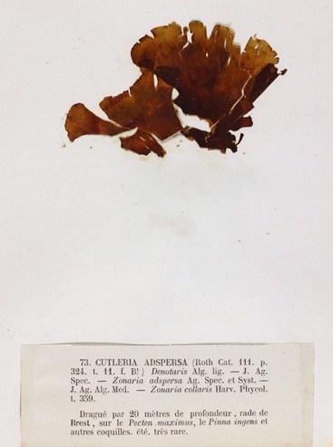 Image of Cutleria
