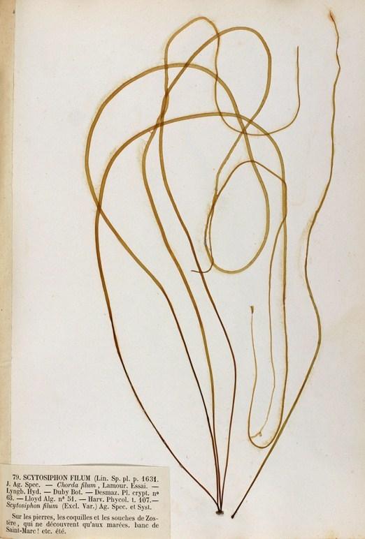 Image of <i>Chorda filum</i>
