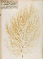 Image of <i>Desmarestia viridis</i>