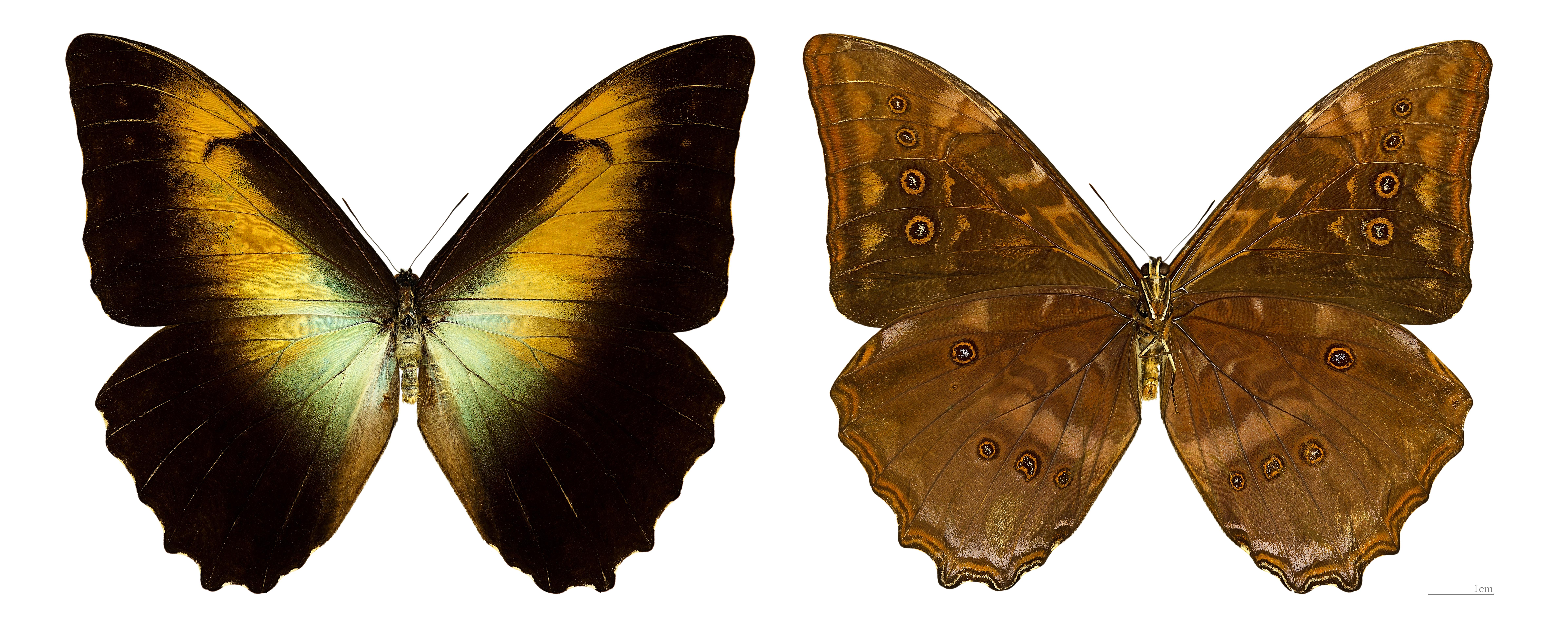 Image of <i>Morpho telemachus</i> Linnaeus 1767