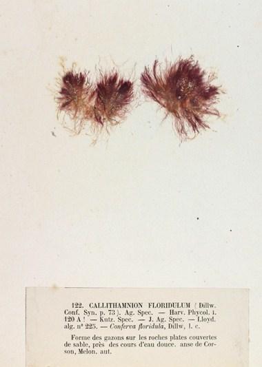 Image of <i>Rhodothamniella floridula</i>