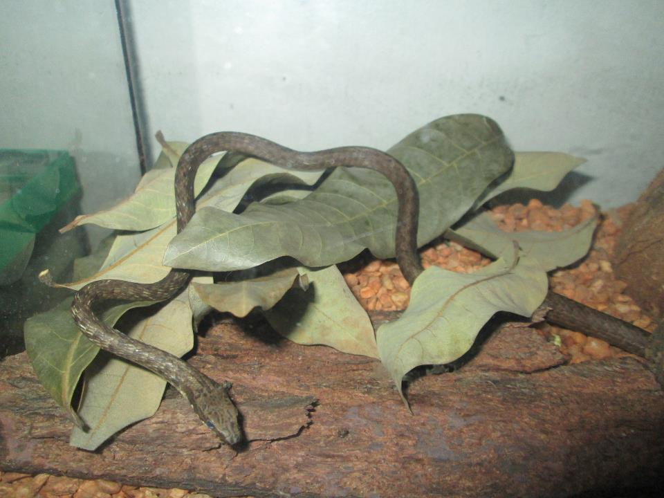 Image of Philippine Whip Snake