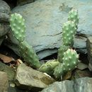 Image of Bulrush Canyon Prickly-pear