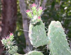 Image of <i>Consolea corallicola</i> Small