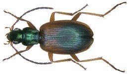 Image of <i><i>Anchomenus</i></i> (Anchomenus) <i>dorsalis</i> (Pontoppidan 1763)