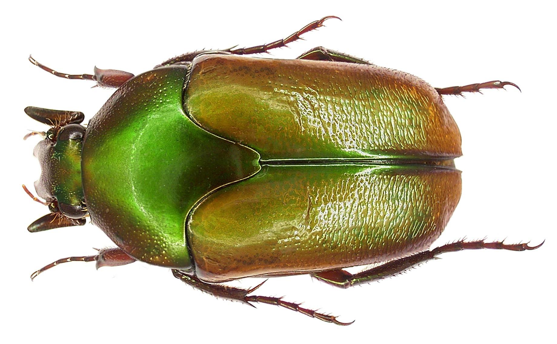 Image of Lomaptera