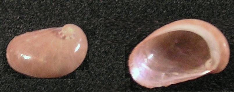 Image of <i>Stomatella gattegnoi</i> Poppe, Tagaro & Dekker 2006