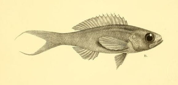 Image of Symphysanodon