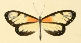 Image of <i>Napeogenes tolosa</i> Hewitson 1855