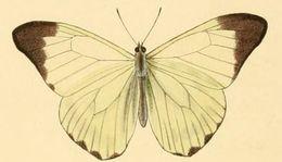 Image of <i>Hesperocharis nera</i> (Hewitson 1852)