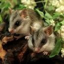 Image of Acacia Rats