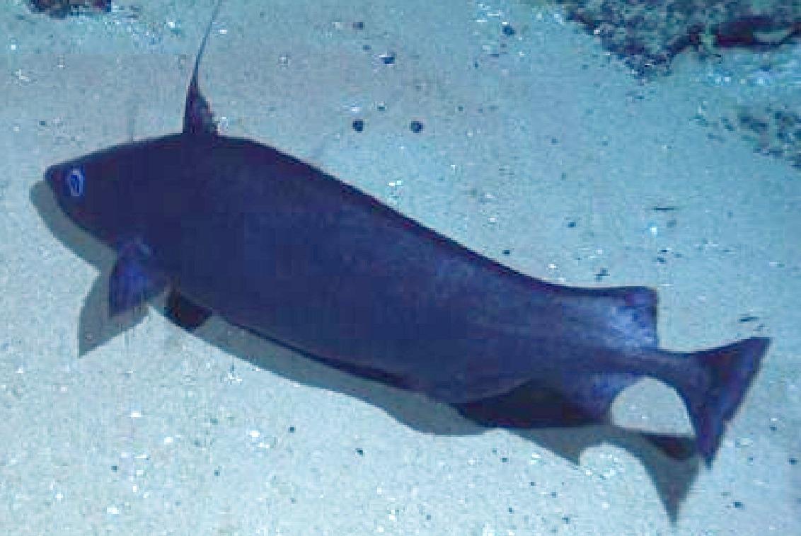 Image of Blue Antimora