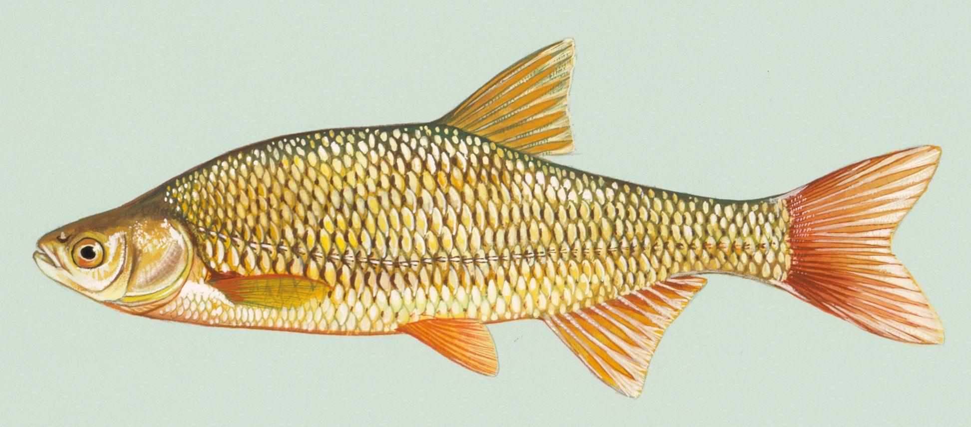Image of Notemigonus crysoleucas