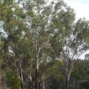 Image of <i>Eucalyptus cambageana</i> Maiden