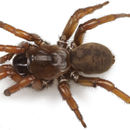 Image of The Windy Point Trapdoor Spider