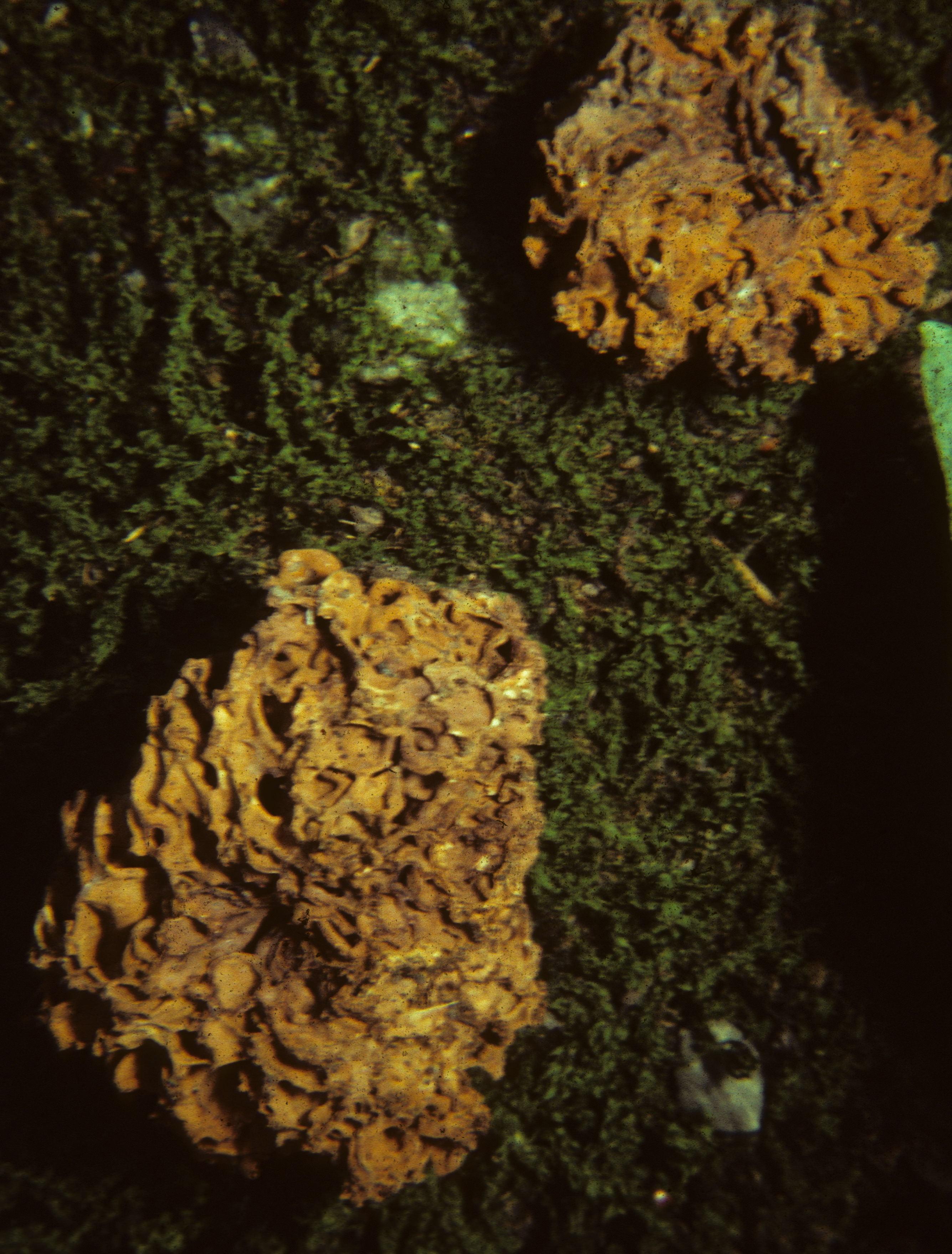 Image of <i>Gautieria morchelliformis</i> Vittad. 1831