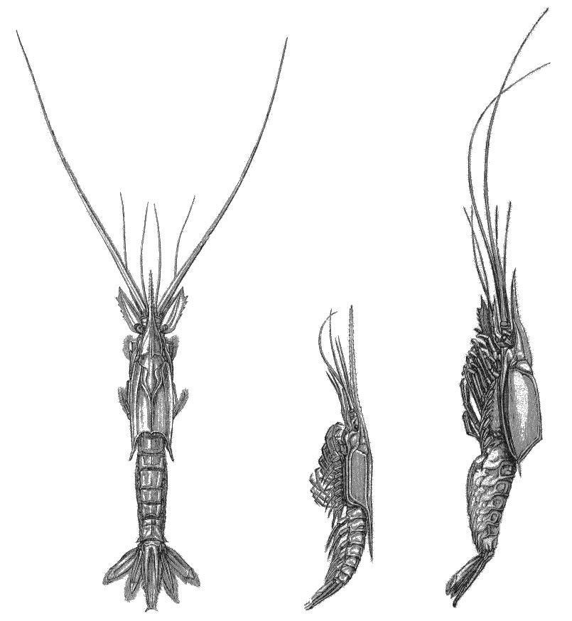 Image of Gnathophausia