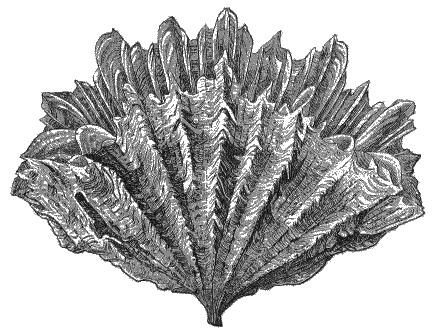 Image of Flabellum