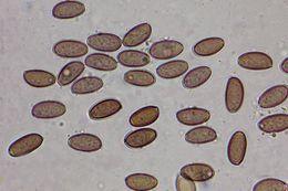 Image of <i>Leratiomyces ceres</i> (Cooke & Massee) Spooner & Bridge 2008