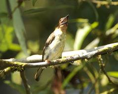 Image of Malay Brown Barbet