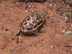 Image of Spider Tortoise
