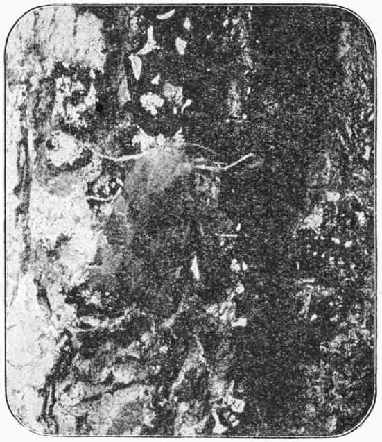 Image of <i>Noctua fimbriata</i> Schreber 1759