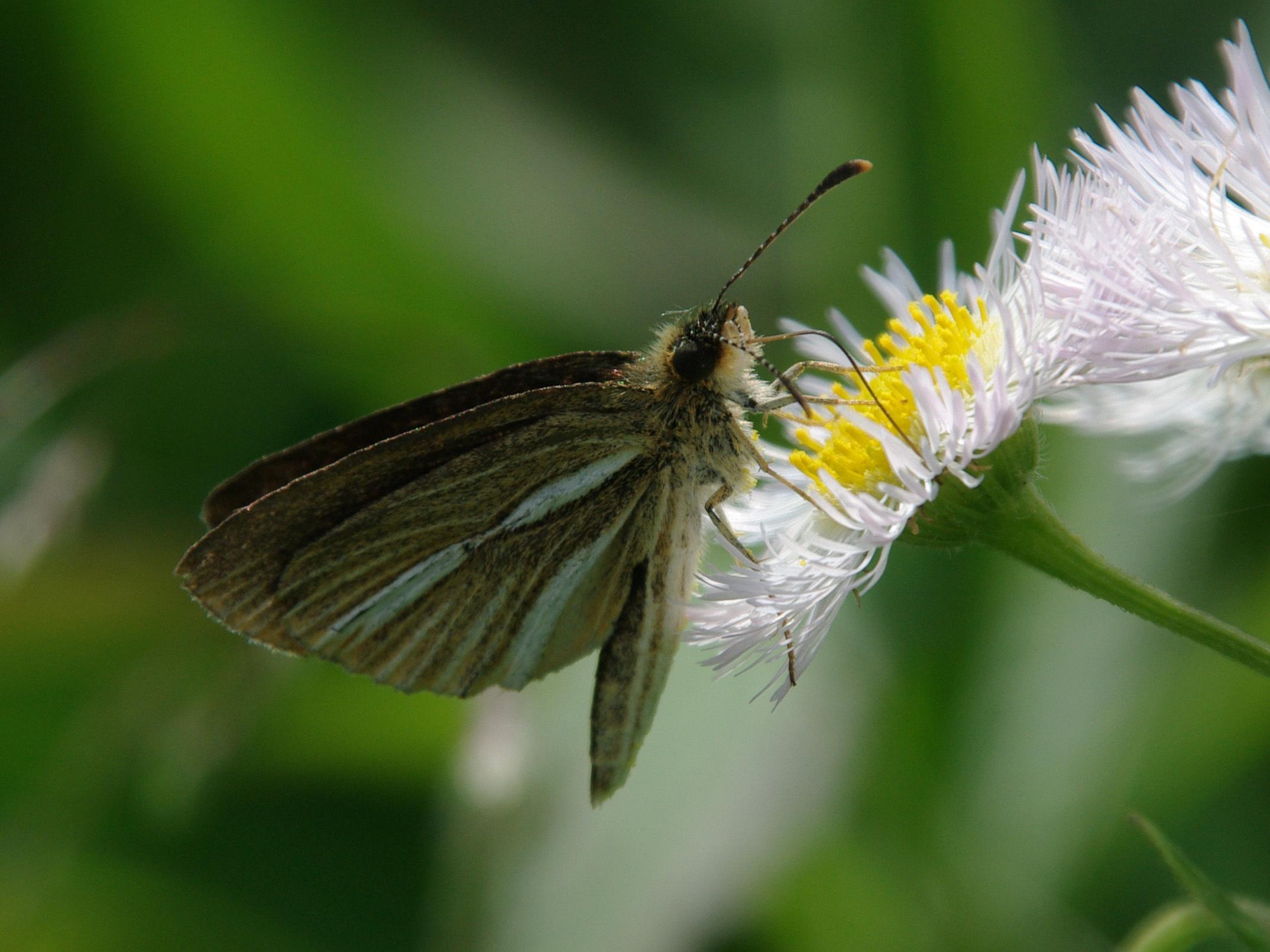 Image of Leptalina