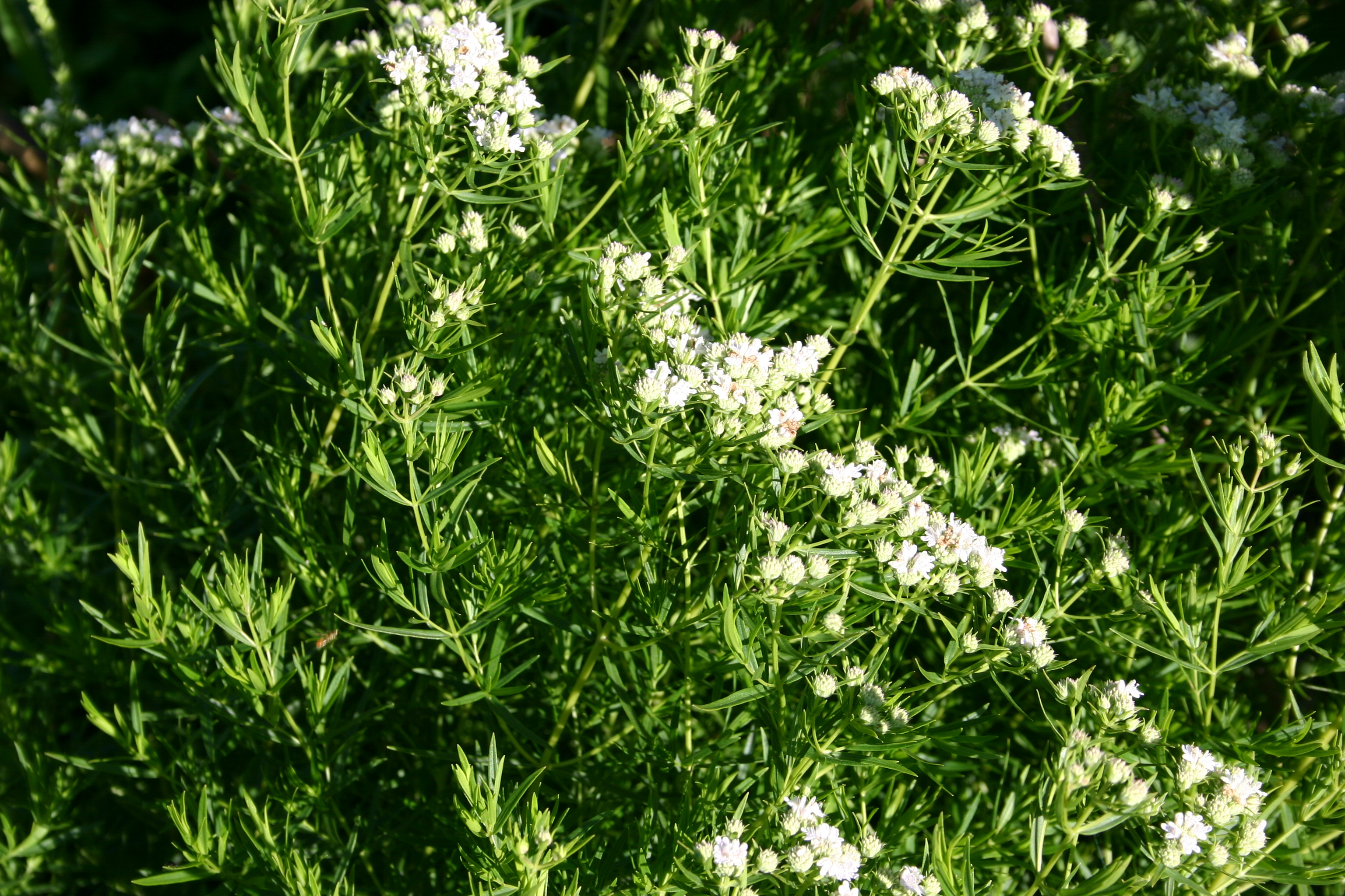 Image of narrowleaf mountainmint