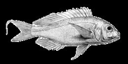 Image of Japanese threadfin bream