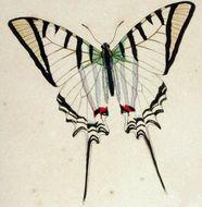 Image of <i>Protesilaus protesilaus</i> (Linnaeus 1758)