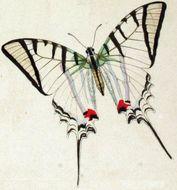 Image of <i>Protesilaus macrosilaus</i> (Gray (1853))