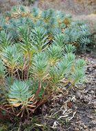 Image of <i>Euphorbia nicaeensis</i> All.