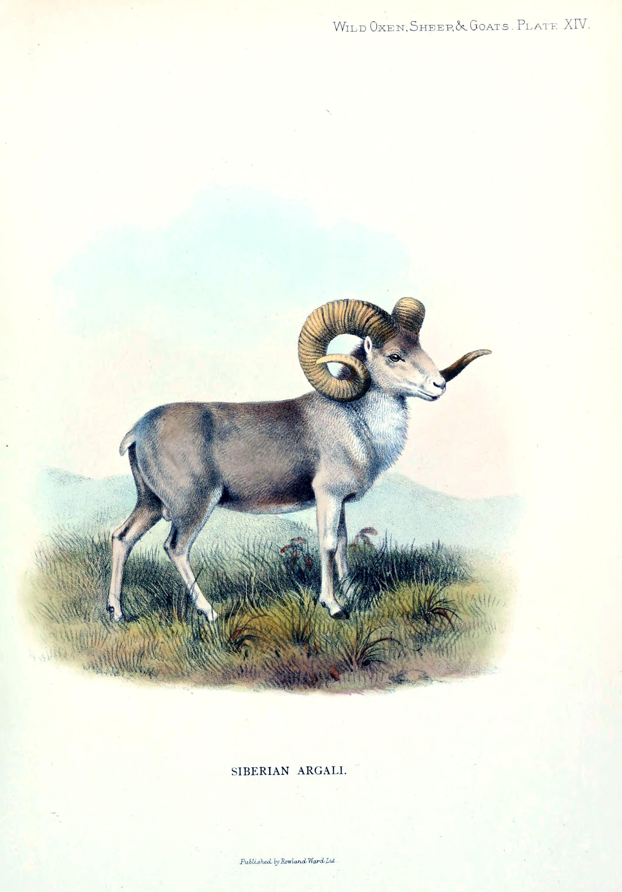 Image of <i>Ovis <i>ammon</i></i> ammon (Linnaeus 1758)