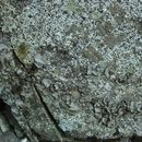 Image of <i>Dermatocarpon americanum</i> Vain.