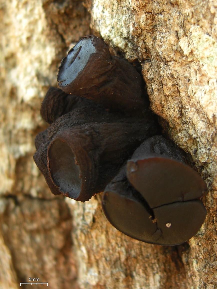 Image of Black Bulgar