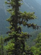 Image of horsehair lichen